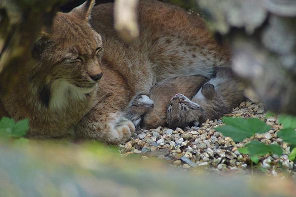 mláďata rysa karpatského