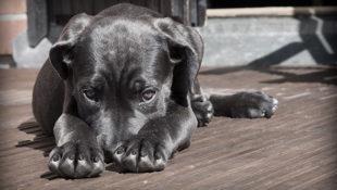 schovávající se pes