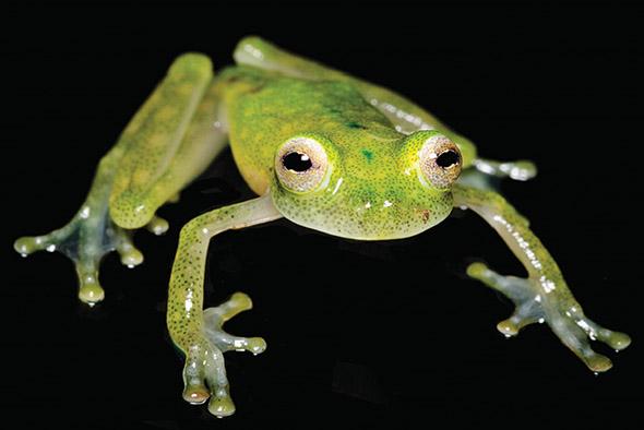 skleněná žabka