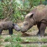 Těžký život asijských nosorožců