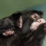 V Zoo Praha se narodilo mládě tamarína bělovousého