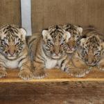 Novinky v zoo: tygřata, hyeny či lemur
