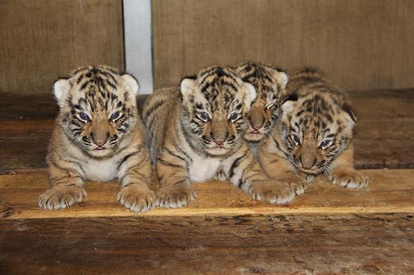 tygřata tygra ussurijského