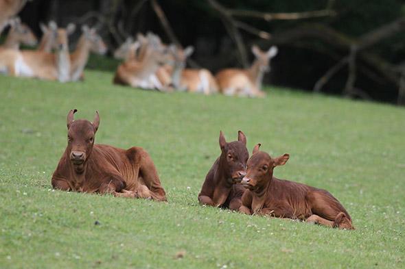 watusi mláďata zoo Dvůr