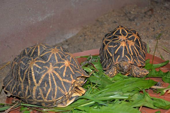 želvy hvězdnaté