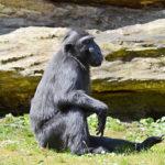 Děčínská zoo poslala do světa makaka chocholatého