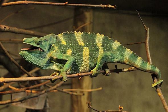 chameleon Mellerův zoo Dvůr