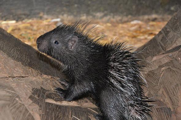 mládě dikobraza zoo Ústí