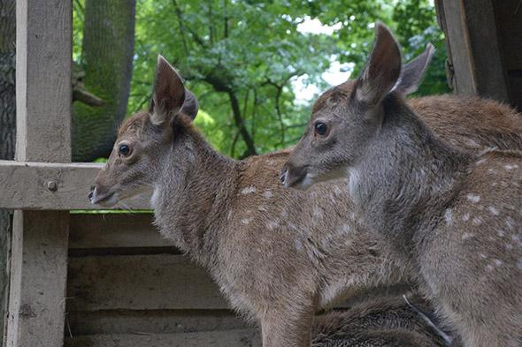 jelen bělohubý zoo Ústí