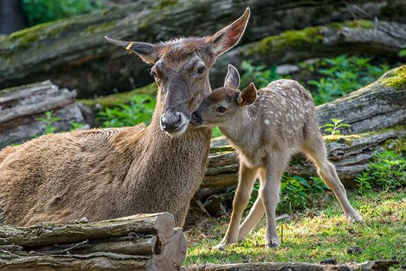 jelen bělohubý zoo Praha