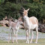 Novinky v zoo: kulan, mara či psi pralesní