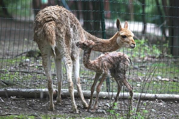 lama vikuňa zoo Brno