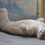 Novinky v zoo: lvice, panda či lamy