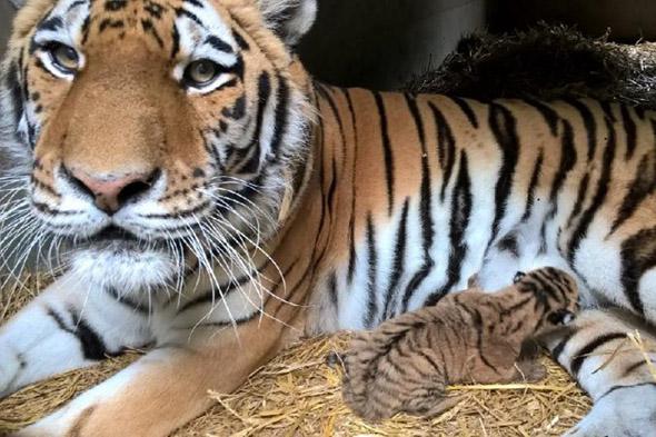 mládě tygra zoo Dvorec