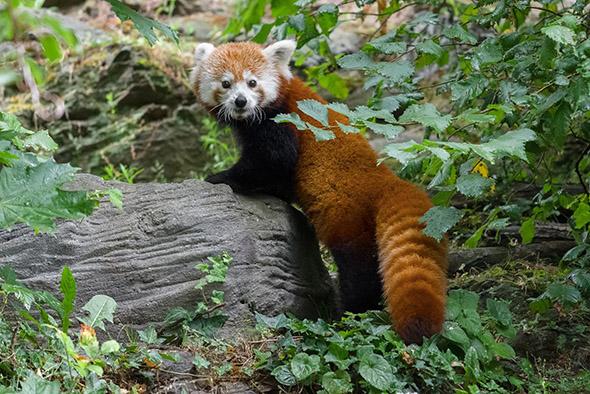 panda červená zoo Praha