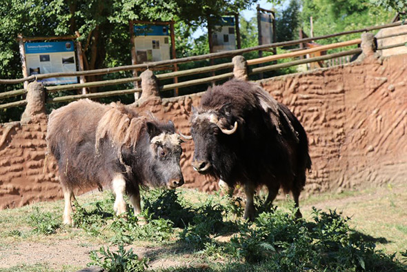 pižmoni zoo Plzeň