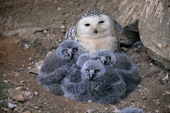 sovice sněžná a mláďata zoo Ústí