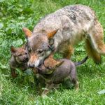 Novinky v zoo: vlčata, hulman i vzácní jeleni