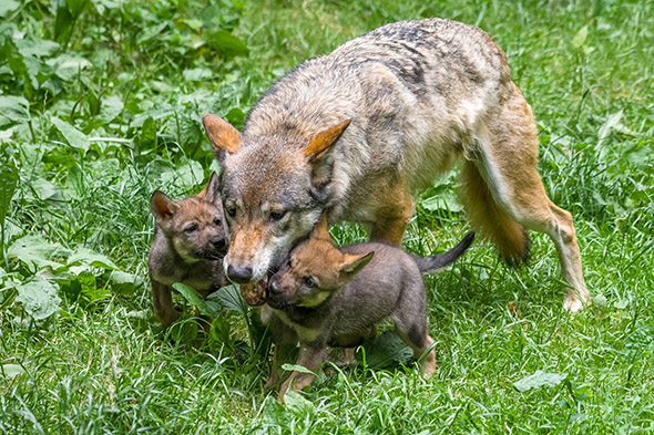 vlčí mláďata zoo Praha