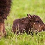 V milovické rezervaci se narodila dvě zubří mláďata