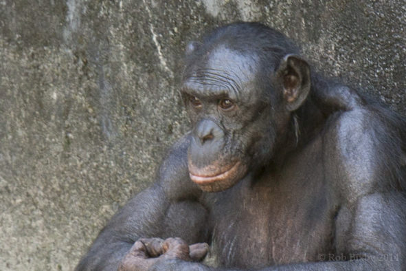 bonobo inteligence