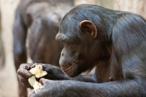 šimpanzice Natasha