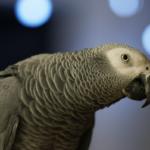 papoušek šedý inteligence