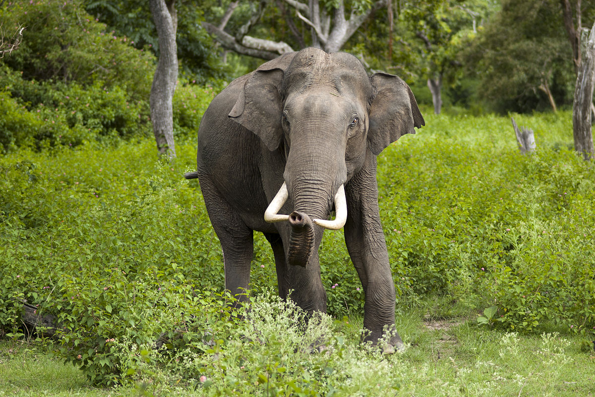 africký a indický slon