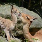 Novinky v zoo: mládě lamy a nový lachtan