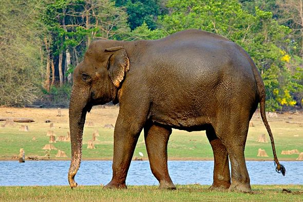 indický slon