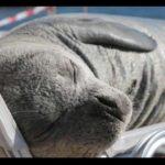 Slavná tulenice Argyro byla brutálně zabita