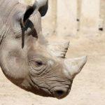 V Tanzanii zemřela Eliška, česká samice vzácného nosorožce. Zabil ji samec Monduli
