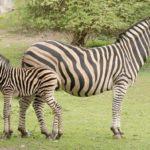 Novinky v zoo: novorozenci tygrů a nosorožců