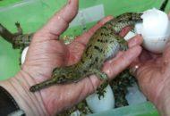 gaviál indický líhnutí - Krokodýlí ZOO Protivín