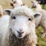 Ovce dokážou rozpoznat lidské obličeje