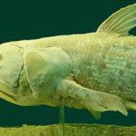 Živoucí fosílie: latimérie – ryba starší než dinosauři