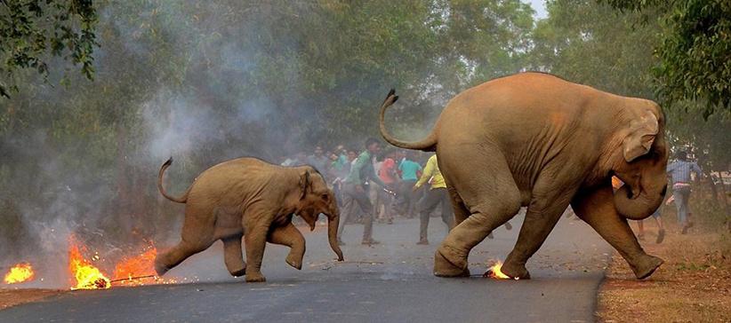 sloni utíkají před davem a ohněm