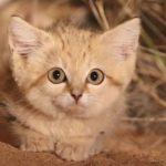 VIDEO: Dvakrát rys a písečná koťata