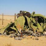 Živoucí fosílie: welwitschie podivná – pouštní rostlina s nejdelšími listy na světě