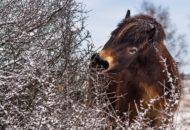 divocí koně Milovice