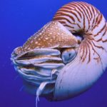 Živoucí fosílie: loděnka – hlavonožec ve schránce