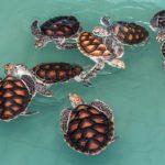 Z vajíček mořských želv se líhnou převážně samičky. Může za to změna klimatu?
