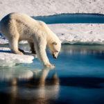 Lední medvědi kvůli úbytku ledu hladovějí