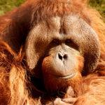Orangutani mizí z Bornea i kvůli lidem. Jeden lidoop zemřel po 130 ranách vzduchovkou