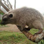 Mládě damana pralesního odchovala ostravská zoo jako první na světě