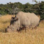 Zemřel Sudán, poslední bílý nosorožec na světě. Nadějí pro druh je umělé oplodnění