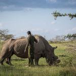 Poslední samec bílého nosorožce umírá. Většinu života strávil ve Dvoře Králové