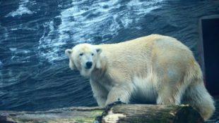 Den ledních medvědů