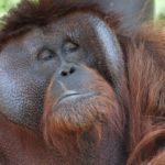 Orangutan vykouřil cigaretu. Indonéská zoo opět čelí kritice