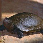 Tereka madagarská: podívejte se na nejohroženější želvu planety